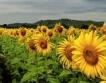 Ниска реколта от слънчоглед към момента