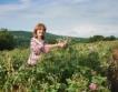 Нови пазари за българското розово масло