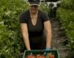 Отново предложения за берачи на ягоди