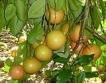 Флорида: Много слаба реколта от грейпфрут