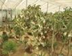 3700 вида кактуси в Балчик