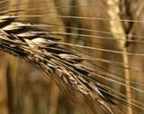 Добивът на пшеница с 6-год. дъно