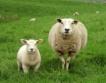Къде в ЕС има най-много овце?