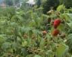 Повече площи с биологични малини