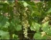 Лоша реколта от грозде, плодове
