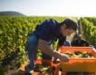 Под 20 ст. изкупни цени на гроздето