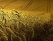 Пшеницата и рапицата застрашени