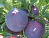 Родният пазар - тесен за българските овощки