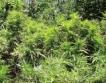 Израел ще изнася марихуана