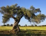 Най-големите производители на маслини в ЕС
