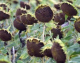 Български шрот от слънчогледово семе за износ
