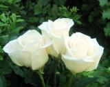 Произходът и качеството на маслодайна роза гарантирани