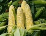 По-слаба реколта от царевица