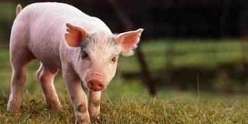 Любимото свинско и бизнес за 300 млн. лв. под въпрос