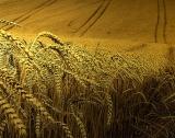 Нови 12 сорта от българска селекция пшеници
