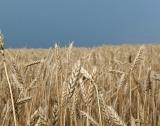 Регион Добрич прибра 50% от зърното