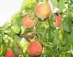 По-добра реколта от праскови е очаква