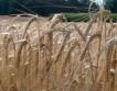 Ямбол: 450 кг/дка среден добив ечемик