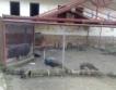 По 300 лева компенсация за домашни прасета
