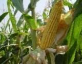 Добивите от царевица в Добрич, Търговище, Ловеч