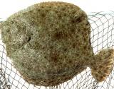 По-висока квота за улов на калкан