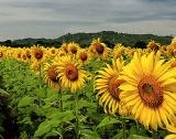 Област Добрич: 78% от слънчогледа прибран
