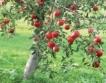 Украйна: 2 пъти по-слаба реколта от ябълки
