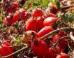 Без патенти за растения, получени по естествен път