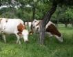 Русия внася хиляди крави от ЕС