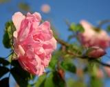 Маслодайната роза & борбата с вредителите