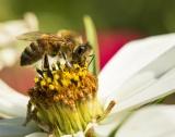 Какво убива пчелите?