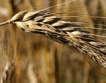 България лидер по износ на пшеница