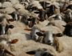 Благоевград №1 по отглеждане на овце & кози