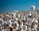 ДФЗ: 5 млн.лв. за производители на памук