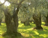 Бактерия убива маслините