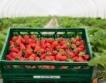 Търговище: Добивите от ягоди & ечемик