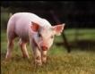 Износът на свинско месо от ЕС ще се увеличи с 10%