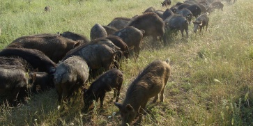 Деликатеси от месо на източнобалканска свиня