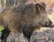 Лов на дива свиня срещу АЧС