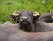 Ставки: 368,85 лв. за млечни крави