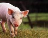 Свинското месо в ЕС започна да поскъпва