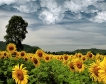 Високи добиви от слънчоглед за 2021
