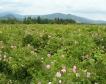 Стопани съсипват 40% от розовите си градини