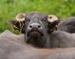 Европейското говеждо ще намалява